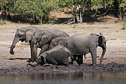 African Elephants bathing