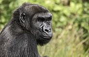 Western Lowland Gorilla Face Shot