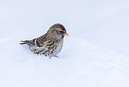 Common Female Redpoll in the Snow