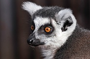 Ring Tailed Lemur Side Profile Close Up