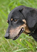 Black and Tan Miniature Dachshund