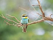 Juvenile European Bee-eater