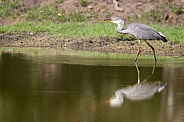 grey heron in the water