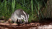 Badger Taxidea taxus