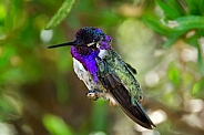 Hummingbird - Costa's Beauty
