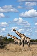 Giraffe - Botswana