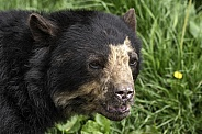Spectacled Bear Face Shot Close Up