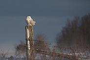 Female Snowy Owl on a Fence Post
