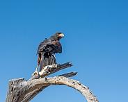 Harris' Hawk