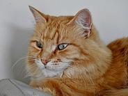 Calico Tabby Cat