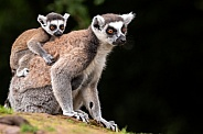 Ring Tailed Lemur Full Body Mother with Baby