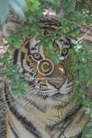 Amur Tiger hiding in bush