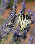 Scarce Swallotail Butterfly