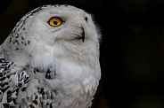 Snowie Owl Black Background