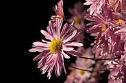Pink Chrysanthemums