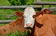 Brown & White Cow