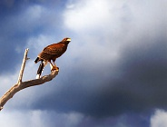 Harris Hawk on Branch with Cloudy Sky