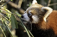 Red Panda Youngster Eating Bamboo