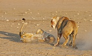 Lion rivalry