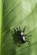 Rainbow Stag Beetle.