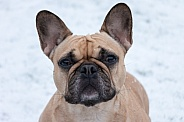 Fawn French Bulldog Face Shot