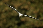 Black Shouldered Kite in Flight