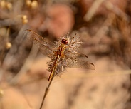 Small Scarlet Dragonfly