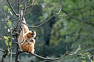Gibbon with a baby
