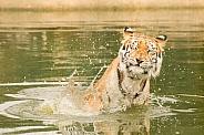Splash! Indian Tiger