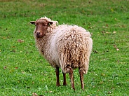 Skudde sheep