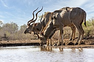 Kudu and Oxpickers