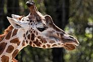 Giraffe Side Profile Head Shot