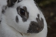 Domestic Rabbit Close-up