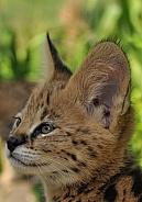 African Serval Cub