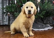 Golden Retriever Puppy Sitting Down