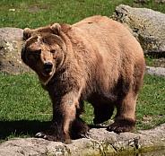 Female Kamtschatka Brown Bear