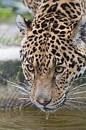 Jaguar Drinking