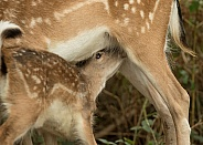 Close Up of Fallow Deer Fawn Suckling