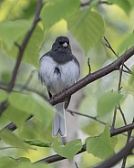 Dark-eyed Junco Pose