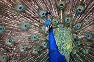 Indian Peacock