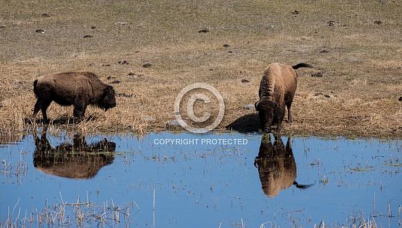 Bison, Buffalo