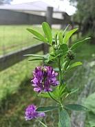 Lucerne Flower