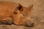 Sleeping Tamworth Pig