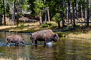 Mother Bison and Calf crossing the Nez Perce Creek
