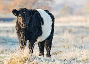 Belted Galloway Cow