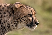 Cheetah Side Profile