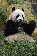 Gianta Panda