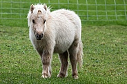 Miniture Shetland Pony