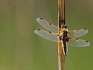 Dragonfly (Libellula quadrimaculata)