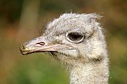 common ostrich (Struthio camelus australis)